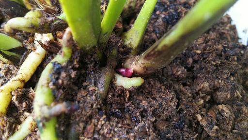 ミスマフェットの花芽
